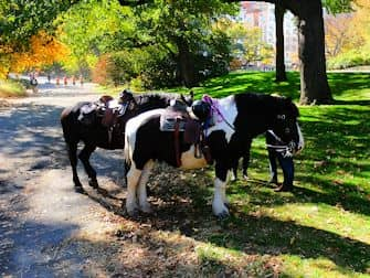 central-park-in-new-york-paarden