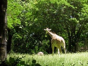 Giraffen Bronx Zoo NYC